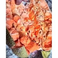 Chempeda榴槤蜜/水果苗/榴槤蜜品種/嫁接苗