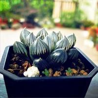 質感居家 黑肌 玉露 多肉植物  療癒 綠化