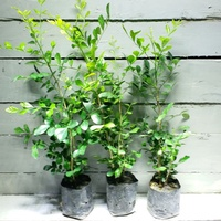 【samgreen❤七里香苗🌱】3吋膠盆/綠色圍籬/飄香植栽/庭園用樹
