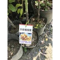 花卉水果苗大批發《焦核榴槤蜜》
