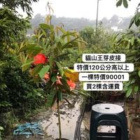 貓山王榴槤高度120公分以上