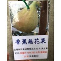 一禪種苗園-口感甜糯<香蕉無花果>水果苗-5吋盆