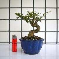 ◆ 明陽盆栽園*【金豆柑】樹高13*左右15*幹徑3.5cm 小品盆景 觀賞價值高 易開花結果 ◆