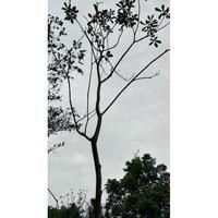 元茂園藝龍潭園區/風鈴木/黃金雞蛋花/6年盆栽