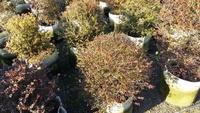 ╭*田尾玫瑰園*╯高經濟樹種--球型紫檀(楓港柿)移植袋寬80-90cm8000元-高存活率.