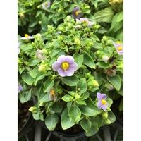 一禪種苗園-紫芳草能在豔陽下大放紫色異彩 <紫芳草>季節花卉-5吋盆