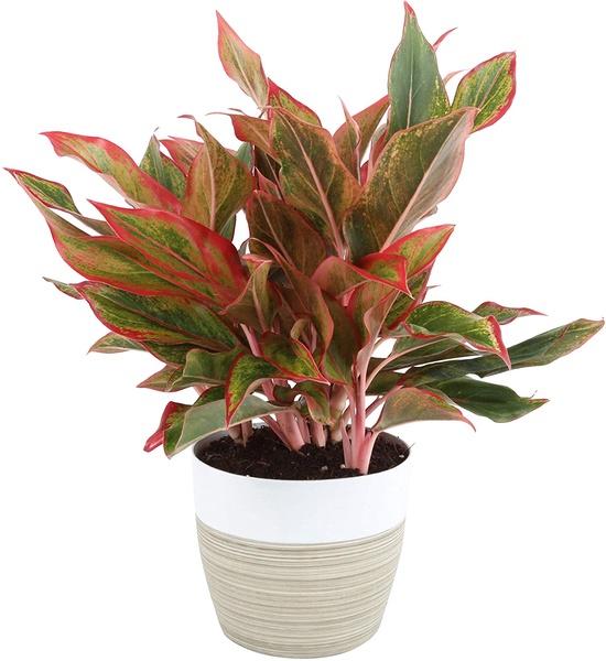 Aglaonema Evergreen Plants