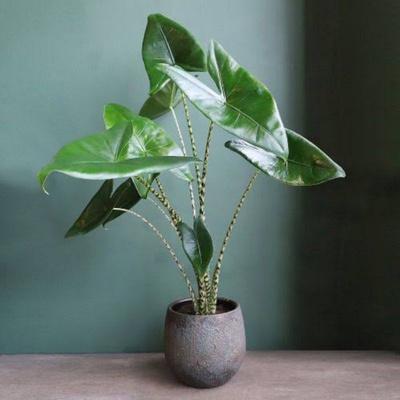 Alocasia Indoor Plant