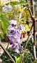 [日本紫藤盆栽 日本紫藤樹苗 ] 4-5吋黑軟盆 多年生開花植物盆栽~ 送禮盆栽 ~半日照佳~需要幾盆,請先確認有沒有貨