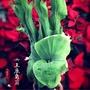 女王鹿角蕨/巨獸鹿角蕨