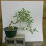 小型 七里香盆栽(誠心者可議價)