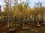 雅緻松坊 加拿大黃楓 黃楓 一批 米徑4-7cm 共50棵 俗到爆炸 買到賺到