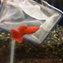 全紅白子~品系孔雀魚