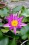 (艾水園藝)水生植物-四季香水蓮(桃紅)~開花成株