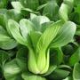 (種子花園)進口雜交矮腳靚冠青梗菜種子 上海青油菜種子籽四季播蔬菜籽 新品 廠家直銷