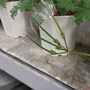 柔毛洋葵種子