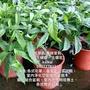 垂枝茉莉(玉蝴蝶、玉蝶花、白玉蝴蝶)盆栽