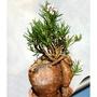 居家 園藝 多肉 塊根 天馬空 Pachypodium succulentum  種子 10粒