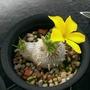 多肉種子 惠比須笑 多肉 塊根 Pachypodium brevicaule 新鮮 黃花 特價