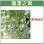 【蔬菜之家】大包裝G28.菱角絲瓜(綠菱,澎湖絲瓜)種子80顆