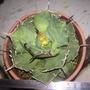 龍舌蘭 寬葉嚴龍 側芽