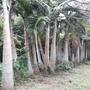 【松濤園藝】酒瓶椰子 樹齡約30年