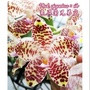 Phal. gigantea × sib 象耳蘭兄弟交 買5送1 3寸盆 原生種蝴蝶蘭