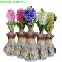 風信子水培瓶鮮花玻璃透明花瓶 綠蘿吊籃器皿玻璃插花瓶大種球