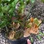 大尺寸 爆盆 寶尼槲蕨