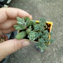 小姬星美人--多肉植物