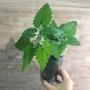 貓的 薄荷罐 貓薄荷 貓穗草 種苗盆栽 家庭盆栽 自己種