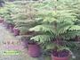 《松發園藝─樹種之家》※庭園-景觀-植栽-綠化-※ 細葉南洋杉/ 酒瓶椰子
