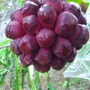 黑老虎種子 布福娜果(新種子限時特價)