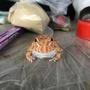 活餌商品 草莓角蛙