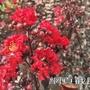 紅葉紫薇樹苗  (5棵=$600)高60公分,一箱可置15棵。