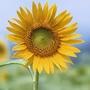 花藝 花種 觀賞向日葵種子向陽花種子大粒高產食用瓜子種子油葵種子 熱賣 非陳種