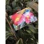 一禪種苗園-喜氣洋洋的新年茶花品種<如來神掌(宫庭歌舞)>茶花盆栽-5吋盆