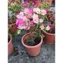 一禪種苗園-綠籬植物<九重葛-淡粉花色>7吋盆