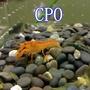 CPO侏儒橘螯.迷你螯蝦.仔蝦.對蝦