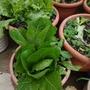 100%有機蘿蔓 生菜沙拉  快炒清燙  健康滿分(3棵100)