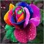 玫瑰花種子 彩色玫瑰花種子 多色玫瑰