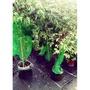 四季樹葡萄樹苗