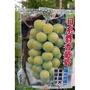 花花世界_水果苗--日系麝香葡萄(陽光玫瑰)--新銳品種/4吋盆/高30-40公分/Ts