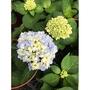一禪種苗園-花型較小的熱帶品種<無盡夏繡球花-藍色>季節花卉- 5吋盆