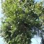 尤加利樹枝 另出售樹苗