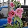蜀葵花(一丈紅) 四吋盆  單瓣 兩種顏色/也有種子出售/蜀葵