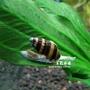 【AC草影】鑽紋螺【一隻】 殺手螺 螺類 觀賞螺 除螺 清潔