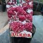 洋紅風鈴木(粉紅花)