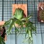 【植翊】菲律賓皇冠鹿角蕨 P.coronarium philippines standard