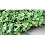 農用711 仙草苗 可以煮仙草茶 仙草雞 苗